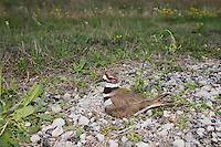 Killdeer (Charadrius vociferus), adult on nest with eggs, Sinton, Corpus Christi, Coastal Bend, Texas, USA