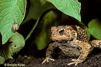 FR11-129z   American Toad - toad in garden watching Colorado potato, prey - Anaxyrus americanus, formerly Bufo americanus