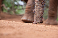 The trunk of an orphaned baby elephant David Sheldrick Wildlife Trust in Nairobi National Park.