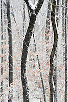 Forest trees covered with snow.