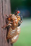 Feature: Cicada Brood II 2013