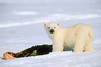 polar bear, Ursus maritimus, cub eating seal, Lancaster Sound, Nunavut, northern Baffin Island, Canada, Arctic, polar bear, Ursus maritimus
