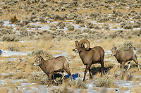 Bighorn Sheep (Ovis canadensis) family--ewe, ram and lamb.  Western U.S., late fall.
