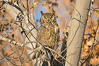 Great horned owl (Bubo virginianus) resting in cottonwood tree.  Utah.  Fall.