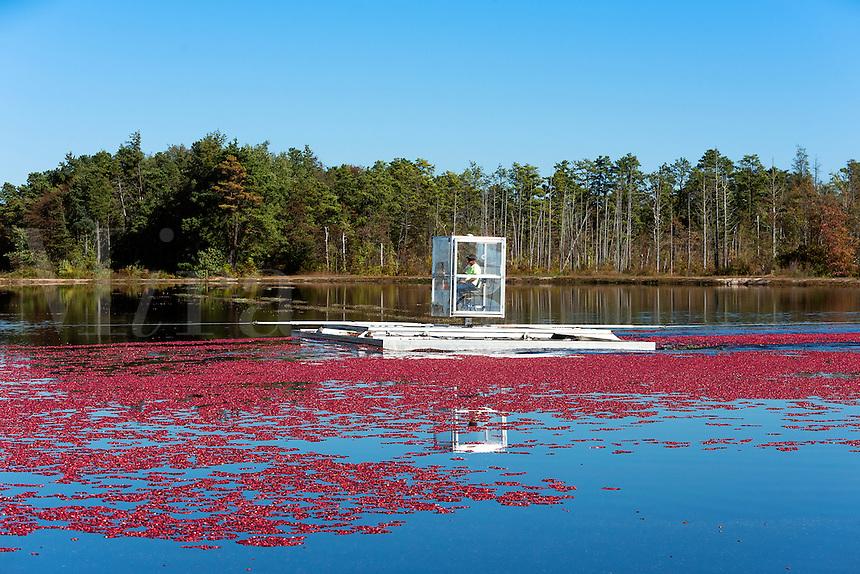 Cranberry harvester agitating a flooded bog, New Jersey, USA