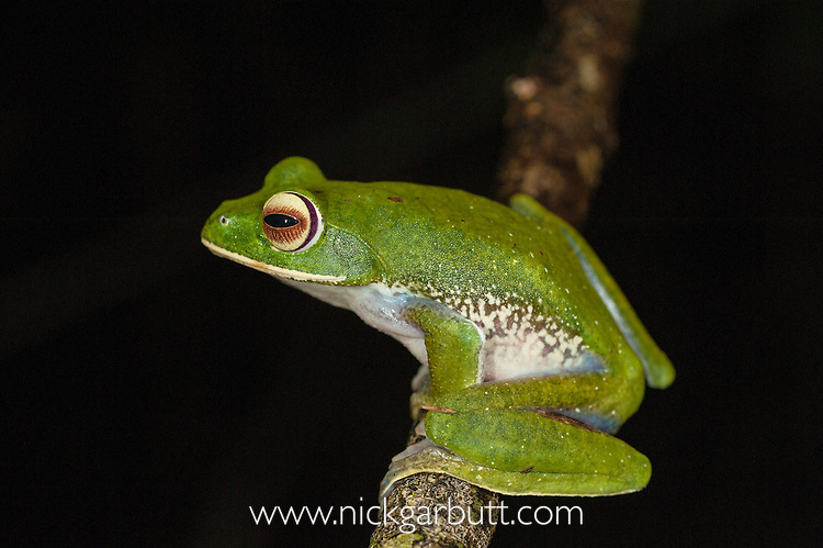 White-lipped Tree Frog (Boophis albilabris) in rainforest canopy. Masoala National Park, Madagascar.