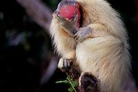 A espécie difere de todas as outras formas de Cacajao por possuir uma pelagem em tom vermelho-escuro ou laranja-avermelhado em todo o corpo, exceto no manto (nuca e uma pequena parte das costas), que tem, em contraste, coloração camurça ou acinzentada.<br /> É um táxon pertencente à família Pitheciidae. A distribuição geográfica é mal conhecida. Existem apenas sete pontos de registro empírico para o táxon. Apesar de terem sido parcialmente confirmadas por dois espécimes da coleção do Museu de Zoologia da Universidade de São Paulo, identificados por José Márcio Ayres (Buiuçu, margem noroeste do canal Auati-Paraná), tais hipóteses ainda carecem de verificação mais acurada, a partir de um levantamento sobre ocorrências em toda a região.<br /> <br /> Tefé, Amazonas, Brasil.<br /> Foto Paulo Santos