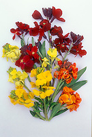 Erysimum various, cut flowers on white background, yellow, orange, red, primrose, different colors together