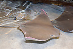 Cow nose ray swimming right