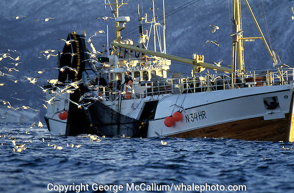 Norwegian coastal fishing boat hauling in herring nets, Vestfjord, Arctic Norway