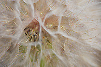 Close-up of salsify seed head