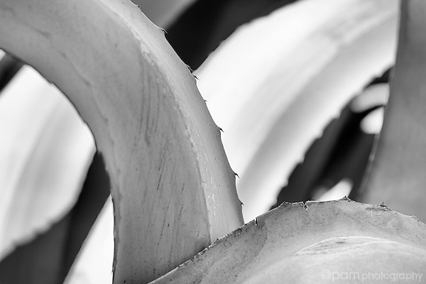 Black and white close-up abstract of agave plant.