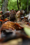 Bornean horned frog (Megophrys nasuta) amongst leaf-litter on forest floor. Danum Valley, Sabah, Borneo.