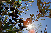Olives ripening at La Domaine les Bouis, Ramatuelle, near Saint Tropez, France, 16 October 2013. The farm belongs to the owner of Club 55, Patrice De Colmont, and all the vegetables, wine and olives produced organically and on principles of permaculture, supply Club 55's restaurant.