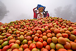 Workers sorting tomato harvest by Abdul Momin