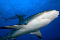 Carribean reef shark,Carcharhinus perezii, in the Bahamas.