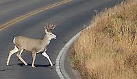 A mule deer crosses the road in Yellowstone National Park.A mule deer crossed the road in Yellowstone National Park.