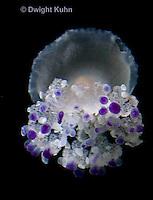 EC15-501z  Mediterranian Jellyfish swimming in ocean, Cotylorhiza tuberculata
