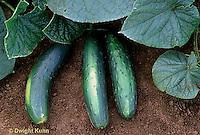 HS36-052x  Cucumber - Jazzer variety