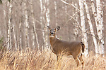 White-tailed doe standing in a northern Wisconsin field.