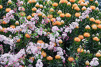 Apple blossoms and Protea flowers. Big Sur coast. California