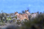 Female puma (Puma concolor) (southern subspecies Puma concolor puma) (in N. America, cougar or mountain lion) with near-adult cubs (12/13 months old) with the blue of a glacial lake (Lago Sarmiento) behind. Private ranch land (Estancia Amarga) on the outskirts of Torres del Paine National Park, Patagonia, Chile.