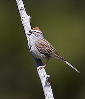 A Chipping sparrow perches above a natural spring.