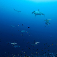 Scalloped hammerhead shark, Sphyrna lewini, over a cleaning station, Malpelo, Columbia, Pacific Ocean