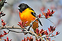 00865-030.06 Baltimore Oriole male is perched in red splendor crab apple tree. Landscape, backyard, food, shelter..