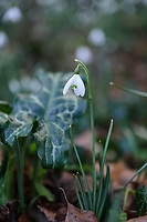 Galanthus 'Longjohns'