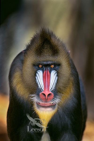 Mandrill (Mandrillus sphinx) adult male..