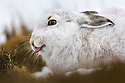 Mountain Hare (Lepus timidus) sticking out tongue, Cairngorms National Park, Scotland. January.