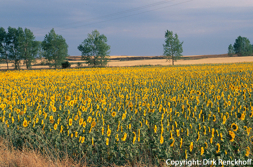 Spanien, Kastilien-León, Sonnenblumen bei Castrojeriz