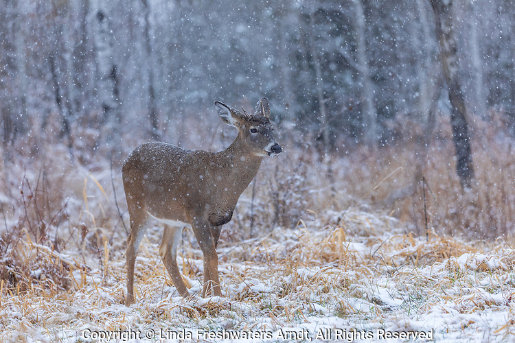 Snow falling on a young white-tailed buck in northern Wisconsin.