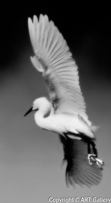 Egret turning in flight.