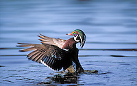 Wood Duck drake. British Columbia. Canada. (Aix sponsa).
