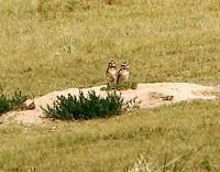 Pair of burrowing owls at burrow in prairie dog town