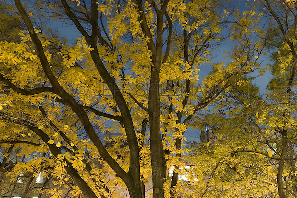 AVAILABLE FROM JEFF AS A FINE ART PRINT.<br /> <br /> Trees with Autum Foliage Illuminated at Night, Clement Clark Moore Park in the Chelsea Neighborhood of Manhattan, New York City, New York State, USA