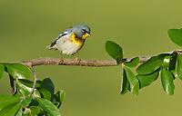 Northern Parula (Parula americana), adult male, South Padre Island, Texas, USA