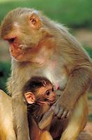 Rhesus monkey and young at Yerkes Primate Center. animals, primates, portrait. Rhesus Monkey, mother, child. Georgia, Yerkes Primate Center.