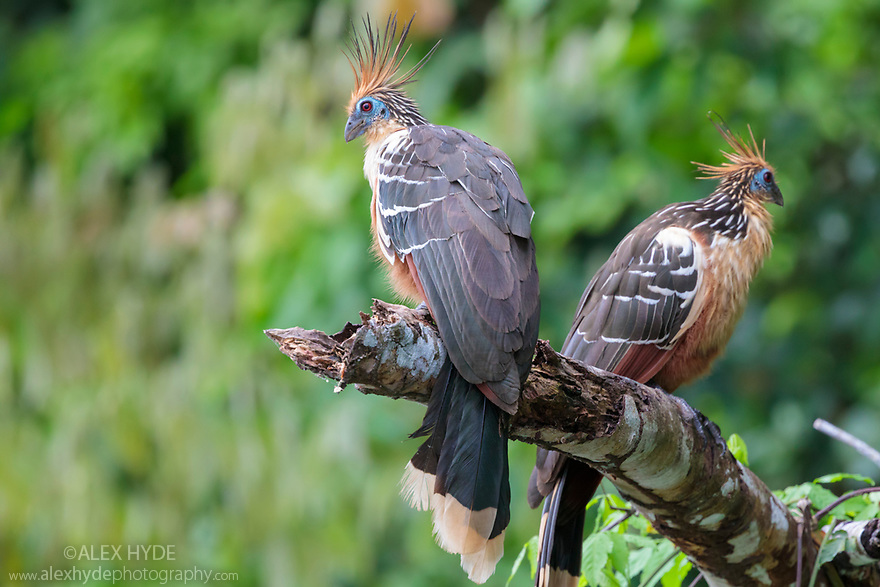 A pair of hoatzin (Opisthocomus hoazin) (also known as skunk bird, stink bird or Canje pheasant), Cocha Salvador ox-bow lake. Manu Biosphere Reserve, lowland Amazon rainforest, Peru.<br /> Manu Biosphere Reserve, Amazonia, Peru. November.