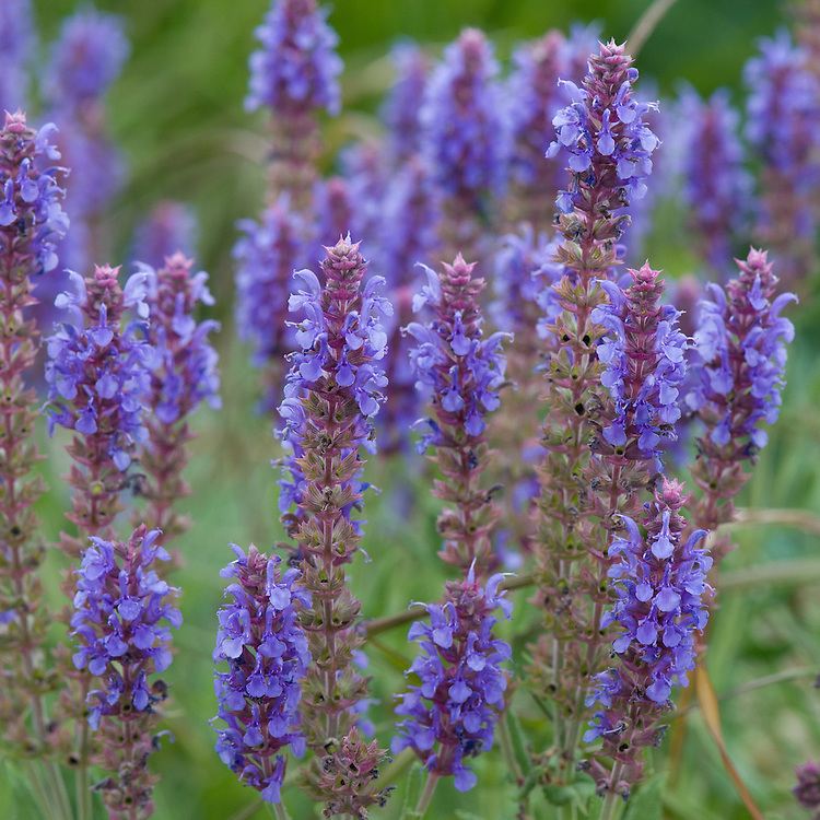 Salvia x sylvestris 'Blauhügel' ('Blue Hill'), end June.