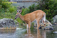 MA11-527z  Northern (Woodland) White-tailed Deer, Odocoileus virginianus borealis