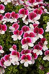 PELARGONIUM 'PAC CANDY FLOWERS BICOLOR', SCENTED GERANIUM
