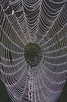 Dew covered Spiderweb on barbed wire fence, Sinton, Corpus Christi, Coastal Bend, Texas, USA