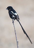The Magpie Shrike was one of the most common birds seen in the Greater Kruger area.