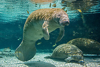 Florida Manatee (Trichechus manatus latirostris, a subspecies of West Indian manatee, Trichechus manatus). Manatees seek the warm waters of the Three Sisters Springs to escape the cold winter temperatures. Crystal River,Florida.