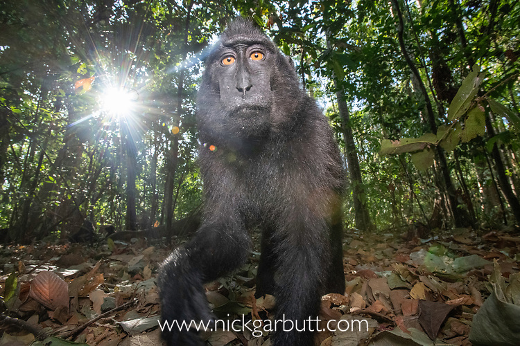 Inquisitive juvenile Sulawesi or Celebes crested macaque or Sulawesi or Celebes black macaque (Macaca nigra)(known locally as yaki or wolai). Tangkoko National Park, Sulawesi, Indonesia.
