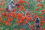 Black-faced langurs (Semnopithecus entellus) eat from a palash or Flame-of-the-Forest tree (Butea monosperma), Jawai, Rajasthan, India<br /> Canon EOS-1D X, EF100-400mm f/4.5-5.6L IS II USM lens, f/9 for 1/500 second, ISO 1000