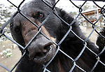 Gracie, a 5-year-old North American Black Bear, gets friendly with the camera at the Animal Ark in north Reno, Nev, on Tuesday, May 17, 2011..Photo by Cathleen Allison